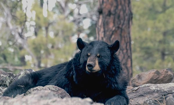Black Bear Resting In Rocks  Photography Art | Great Wildlife Photos, LLC