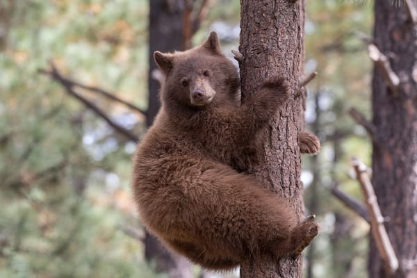 Black Bear Climbing  Photography Art | Great Wildlife Photos, LLC