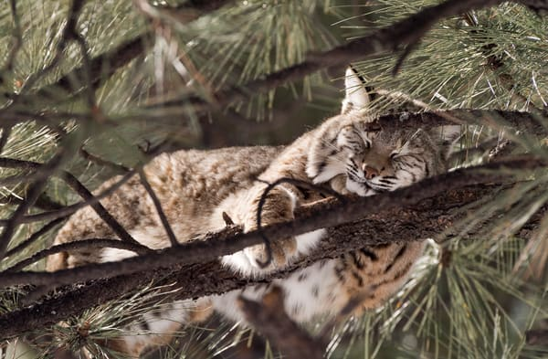 Bobcat Napping In Tree  Photography Art | Great Wildlife Photos, LLC