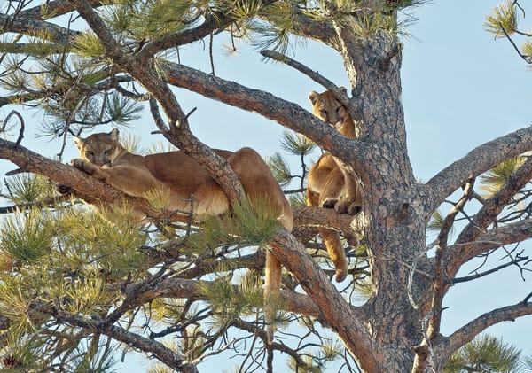 Two Female Mountain Lions In Tree Photography Art | Great Wildlife Photos, LLC