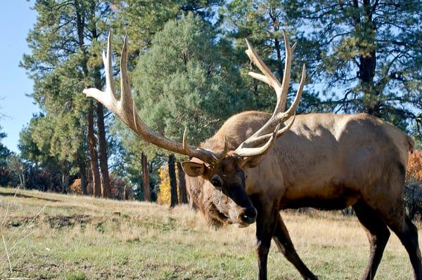 Elk Bull Relaxed Photography Art | Great Wildlife Photos, LLC