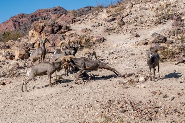 Dominant Ram Defending Ewel Photography Art | Great Wildlife Photos, LLC