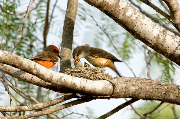 Vermillion Flycatchers Feeding Photography Art | Great Wildlife Photos, LLC