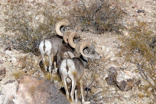 Ram Symmetry  Photography Art | Great Wildlife Photos, LLC