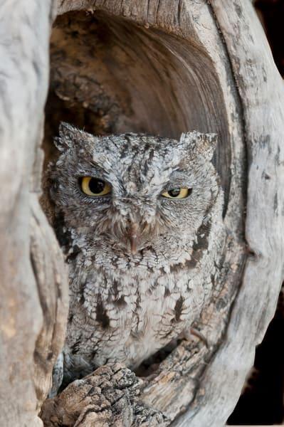 Screech Owl  In Its Nest Photography Art | Great Wildlife Photos, LLC