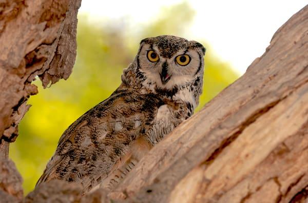 Great Horned Owl Hiding  Photography Art | Great Wildlife Photos, LLC