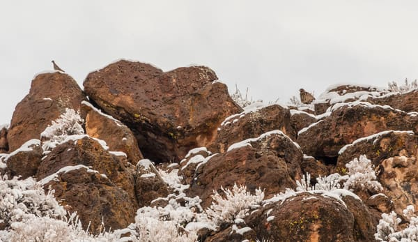 Golden Eagle And Chukar  Photography Art | Great Wildlife Photos, LLC