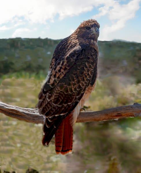 Redtailed Hawk Resting  Photography Art | Great Wildlife Photos, LLC