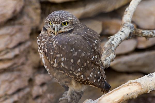 Burrowing Owl Observing Photography Art | Great Wildlife Photos, LLC