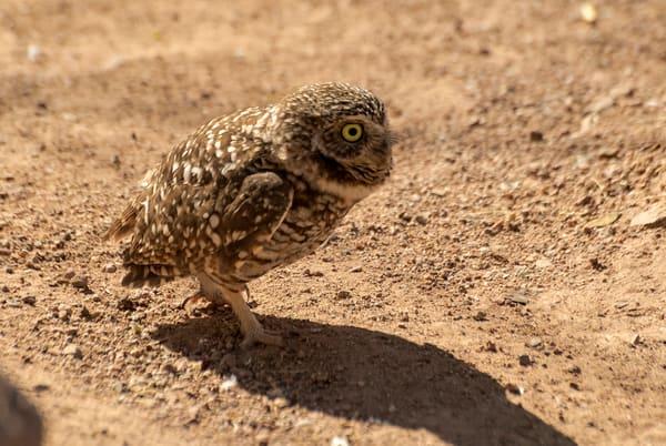 Burrowing Owl Running  Photography Art | Great Wildlife Photos, LLC