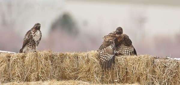 Hawk Food Dispute Photography Art | Great Wildlife Photos, LLC