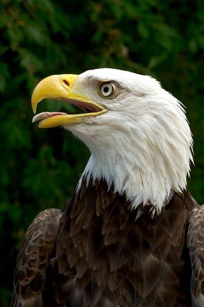 Bald Eagle Sounding Off  Photography Art | Great Wildlife Photos, LLC