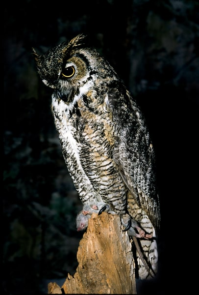 Great Horned Owl With Dinner Photography Art | Great Wildlife Photos, LLC