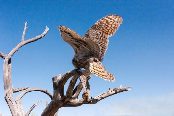 Great Horned Owl Landing  Photography Art | Great Wildlife Photos, LLC