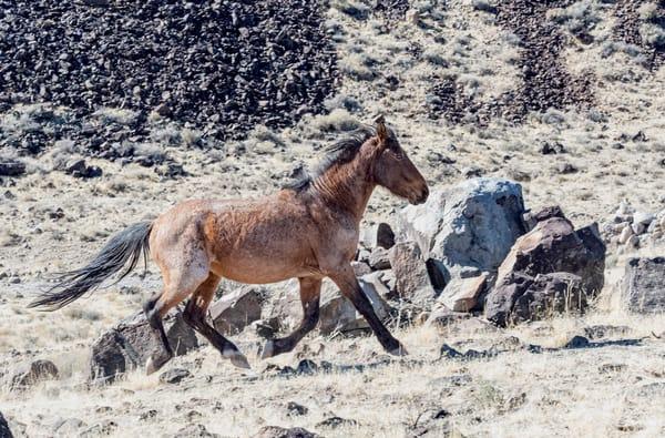 Flying Roan  Photography Art | Great Wildlife Photos, LLC