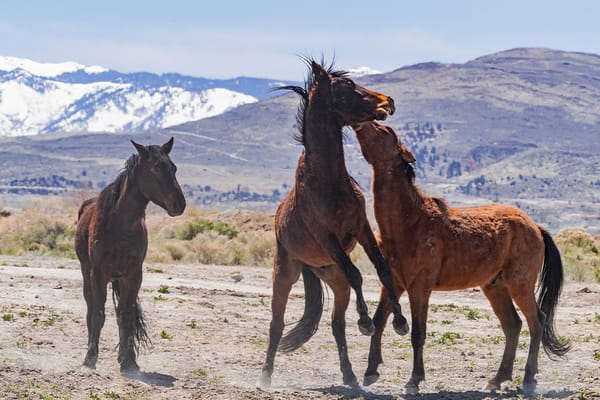 Young Stallions Practicing Photography Art | Great Wildlife Photos, LLC
