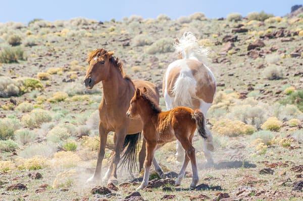 Pinto Kick Coming  Photography Art | Great Wildlife Photos, LLC