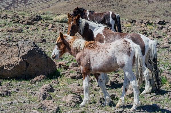 Pinto Trio Photography Art | Great Wildlife Photos, LLC