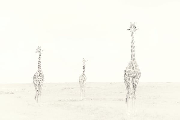 Amazing giraffe fine art print.