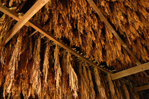 Tobacco Hanging9246 Photography Art | Jeff Rogers Photography, Inc.
