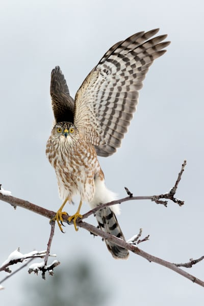 Sharp Shinned Hawk # 2875 Photography Art | Mary Edwards Photography