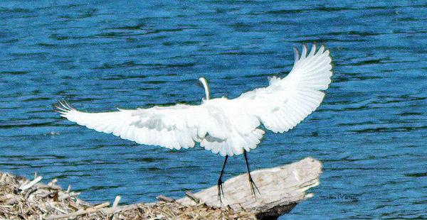 White Egret Sunbathing