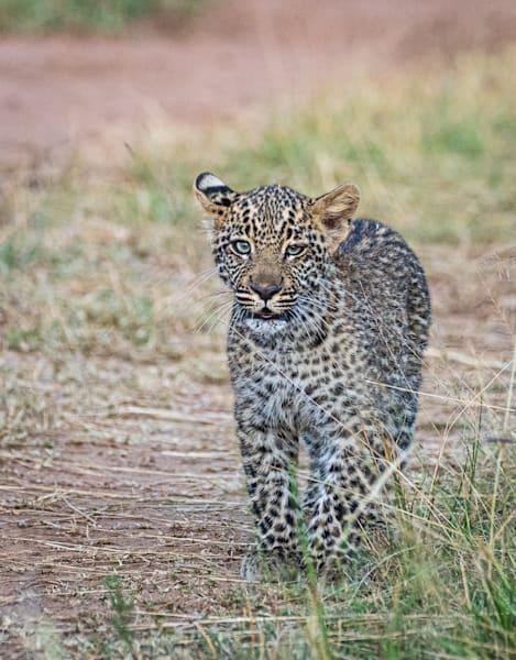 Leopard Cub 2 Art   Drivdahl Creations