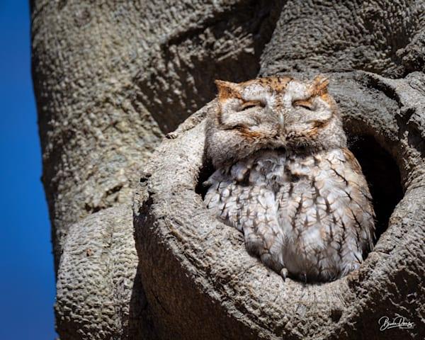 The Cheshire Cat Owl