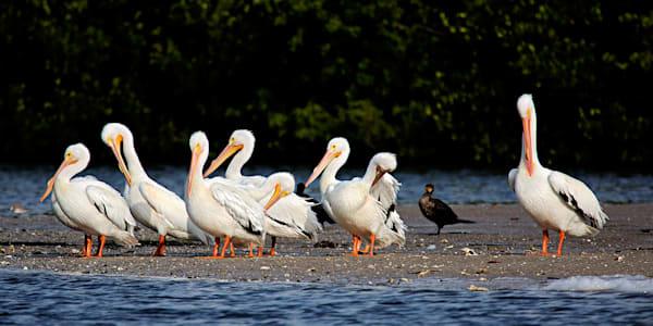 0407 White Pelicans Art | Cunningham Gallery