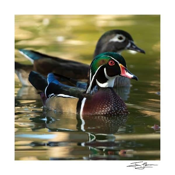 Wood Duck Pair Photography Art | Tim Laman