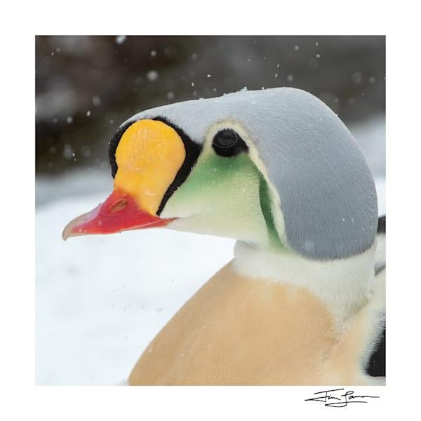 King Eider   Snowy Portrait Photography Art | Tim Laman
