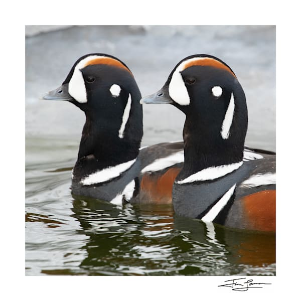 Two male Harlequin Ducks show off fine breeding plumage on a February day.