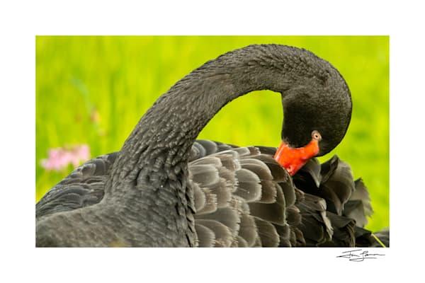Black Swan Preening Photography Art | Tim Laman