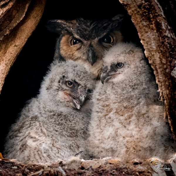 Great Horned Owl Growing Family