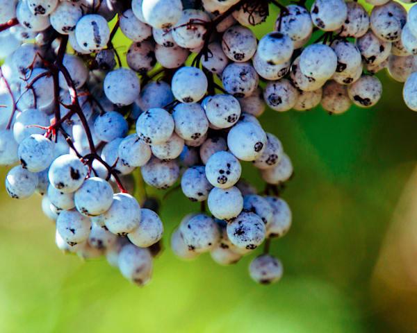 Oregon Grape 2016