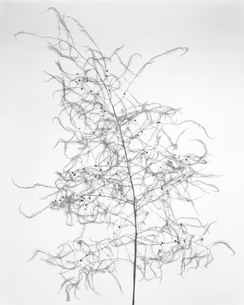 Late Season Asparagus Photography Art | Rick Gardner Photography