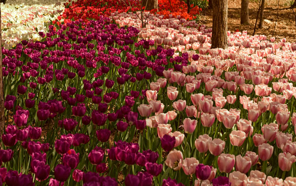 Tulip World Photography Art   Great Wildlife Photos, LLC