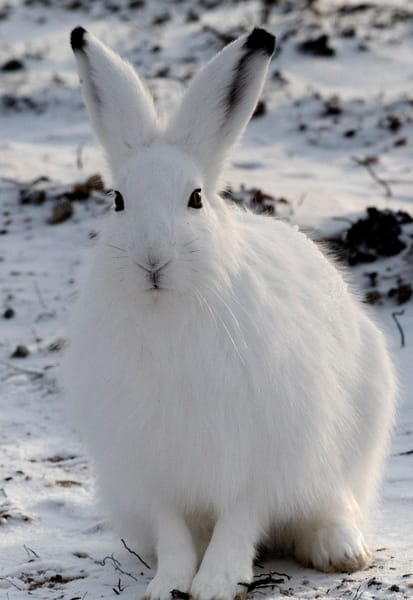 Arctic Hare Looking Photography Art | Great Wildlife Photos, LLC
