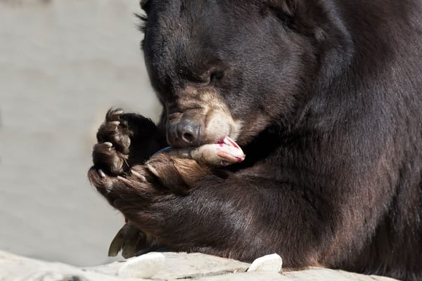 Black Bear Holdiing Fish Photography Art | Great Wildlife Photos, LLC