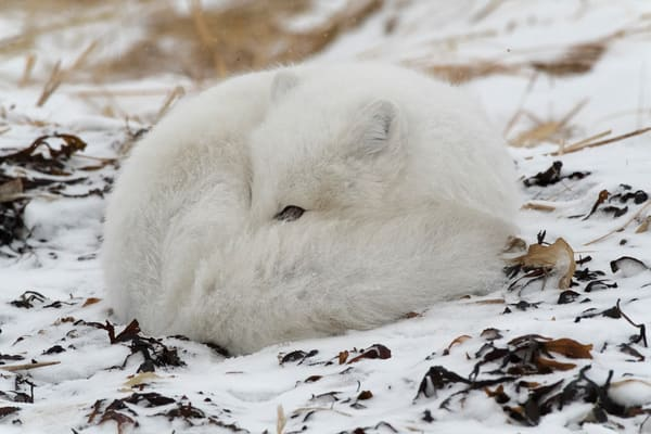 Arctic Fox Sleeping Photography Art | Great Wildlife Photos, LLC