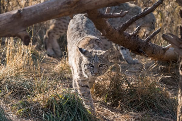 Bobcat Approaching Photography Art | Great Wildlife Photos, LLC