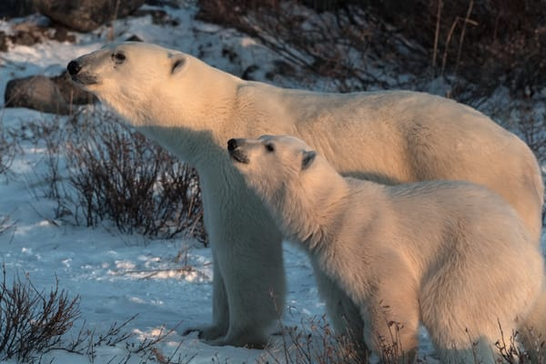 Polar Bear Mom And Cub Closeup Photography Art | Great Wildlife Photos, LLC