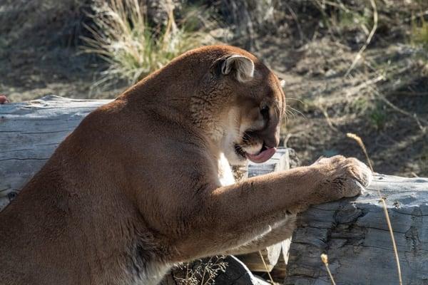 Mountain Lion Anticipation Photography Art | Great Wildlife Photos, LLC