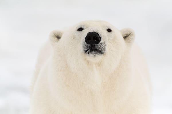 Polar Bear Face Photography Art | Great Wildlife Photos, LLC