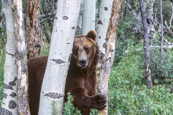 Grizzly In Aspens Photography Art | Great Wildlife Photos, LLC
