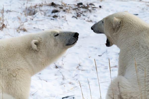 Polar Bear Go Away Photography Art | Great Wildlife Photos, LLC