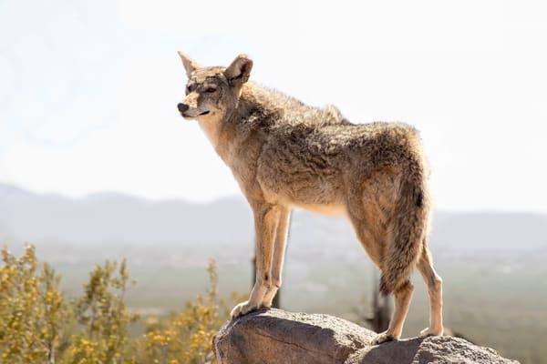 Sentry Coyote Photography Art | Great Wildlife Photos, LLC