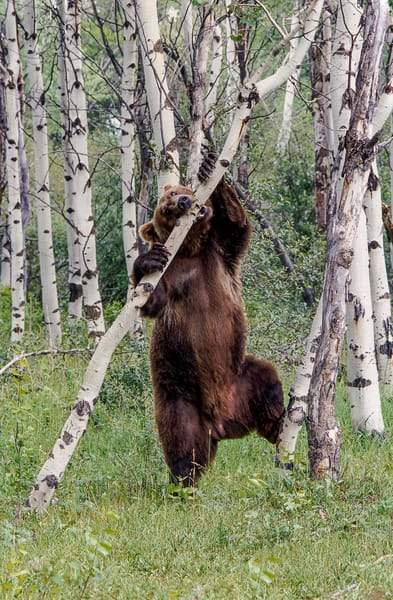 Grizzly Toothpick Photography Art | Great Wildlife Photos, LLC