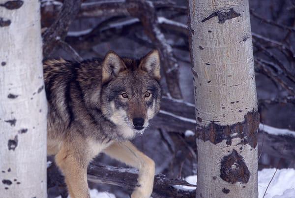 Wolf Sneaking Photography Art | Great Wildlife Photos, LLC