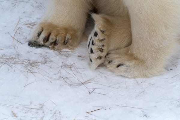 Polar Bear Feet Photography Art | Great Wildlife Photos, LLC